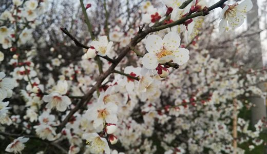 自転車で走っていたら梅の花が咲いていて春を感じた