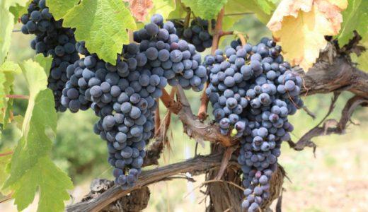 ワインに使われるブドウってどんな種類があるの?